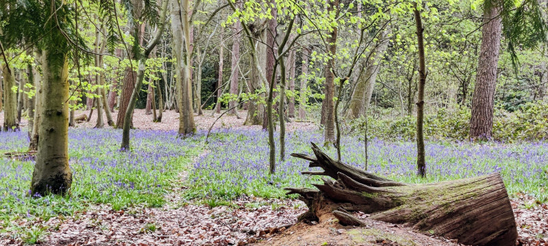 Bluebell forest with tree collapsed stump and small pathway